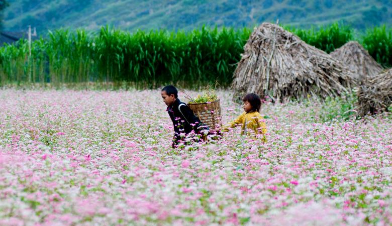 Hoa tam giác mạch Hà Giang