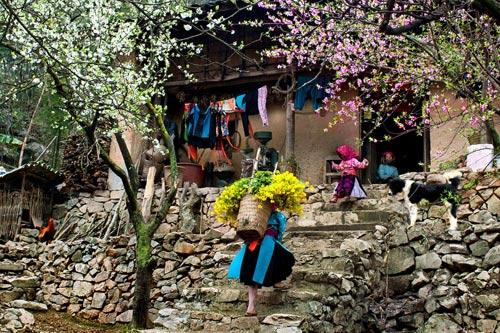 Mùa xuân ở Sapa cũng là lúc hoa đào hoa mận khoe sắc quanh nhà